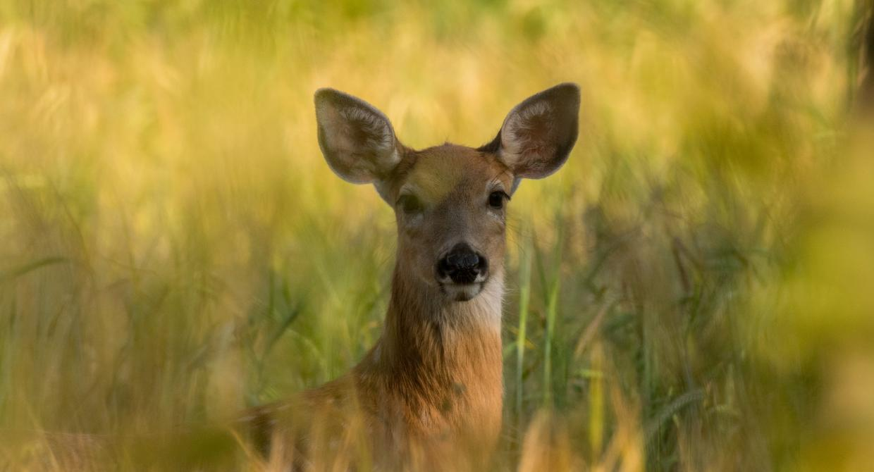 Deer. Photo by James Hammond.